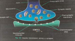 impulse transmission across a synapse todays Affair