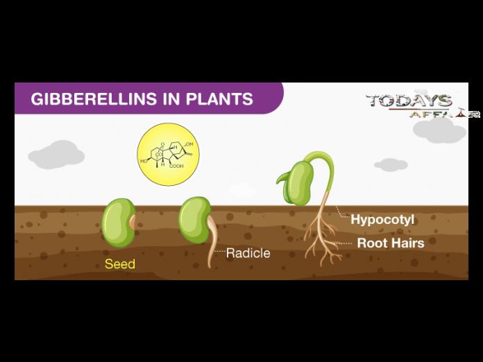 Gibberellins-In-Plants-TodaysAffair