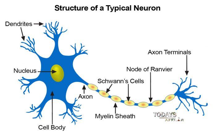 neuron-structure
