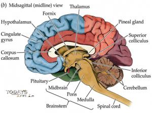 Brain   todaysaffair