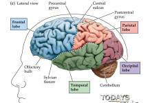 Lateral-view-of-the-brain | todaysaffair